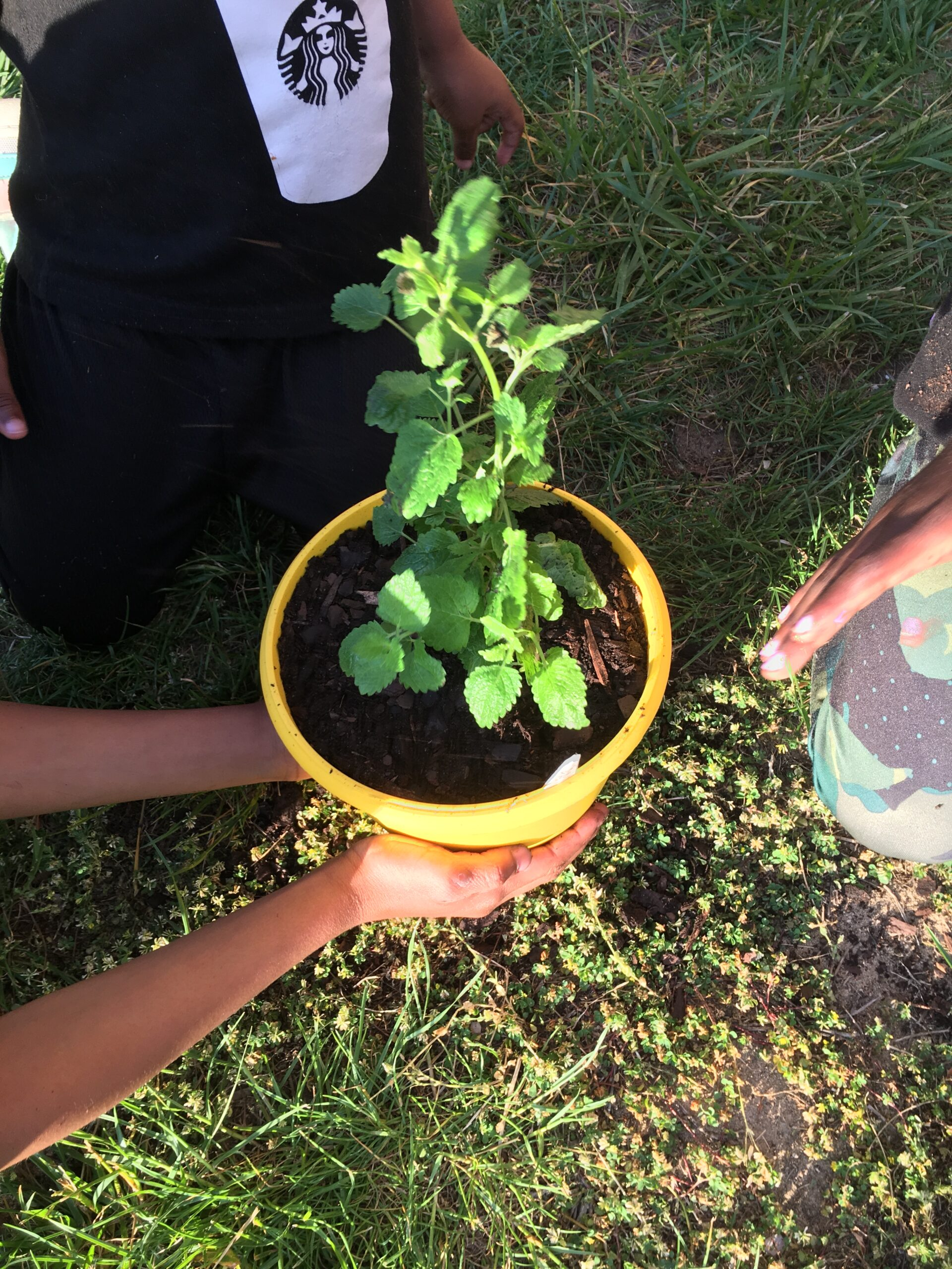 kids planting lemon balm